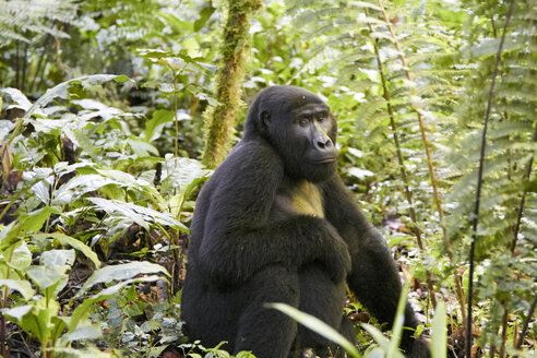 Africa, Uganda, Bwindi Impenetrable Forest, Gorilla in the forest - VEGF00212
