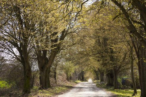 Tree-lined, alley, Putbus, Ruegen, Germany - WIF03922