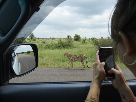 South Africa, Mpumalanga, Kruger National Park, woman taking cell phone picture of cheetah out of a car - VEGF00217