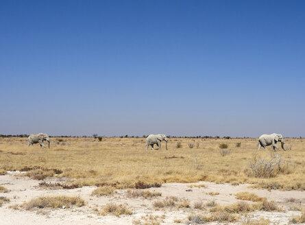Africa, Namibia, Halali, Etosha National Park, savanna with a group of elephants walking - VEGF00232