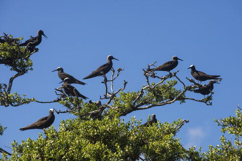 French Polynesia, Tuamotus, Tikehau, Birds on Bird Island - RUNF02080