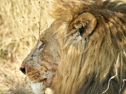 Profile of male lion, Chobe National Park, Maun, Botswana - VEGF00239