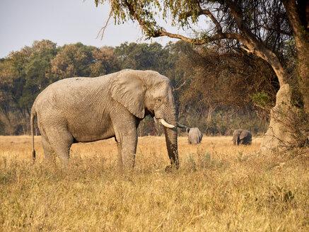 Elephant under a tree, Etosha National Park, Namibia - VEGF00245