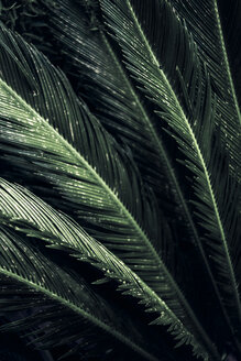 Close-up of leaves of a sago palm, Cycas Revoluta - DWIF01005