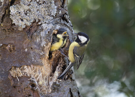 Great tit at tree hole nest feeding young, Bavaria, Germany - ZCF00787