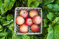 Close up of basket of red apples in wet leaves - BLEF04444