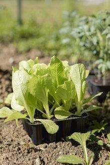Lettuce. Vegetable Garden. Italy - MAUF02467