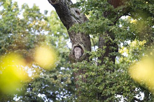 Waldkauz sitzt in seiner Baumhöhle, Strix aluco, Eule, München, Bayern, Deutschland - MAMF00690
