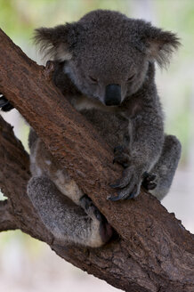 Koala in the Billabong sanctuary, Townsville, Queensland, Australia - RUNF02286