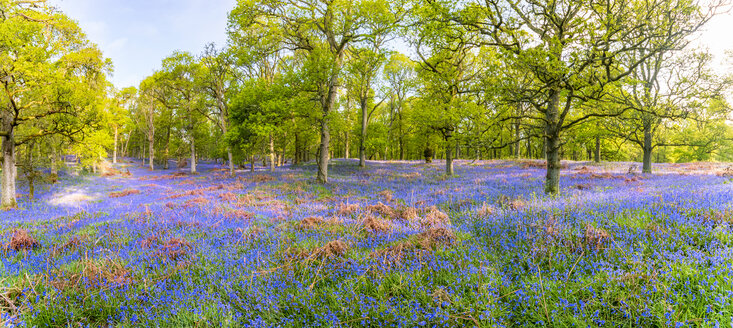 Bluebells flowering in the forest, Perth, Scotland - SMAF01216