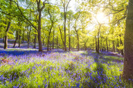 Bluebells flowering in the forest, Perth, Scotland - SMAF01228