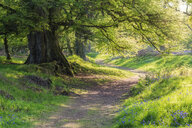 Bluebells and empty forest track, Perth, Scotland - SMAF01242
