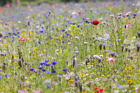 Close up of vibrant wildflowers in sunny field - JUIF01240
