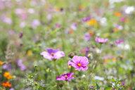 Pink blooming flowers in field of wildflowers - JUIF01246