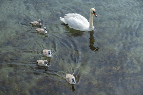 Swan with chicks swimming in water - TAMF01516