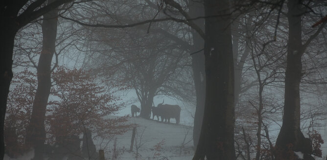 Silhouettes of Highland cattles under trees in winter, Germany - ANHF00133