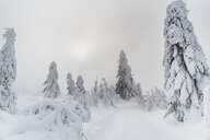Snow-covered fir trees, Arbermandel, Ore Mountains, Germany - MJF02365