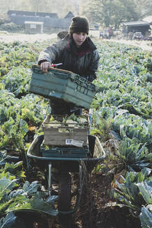 Woman standing in field, carrying plastic crate, harvesting cauliflowers. - MINF11309
