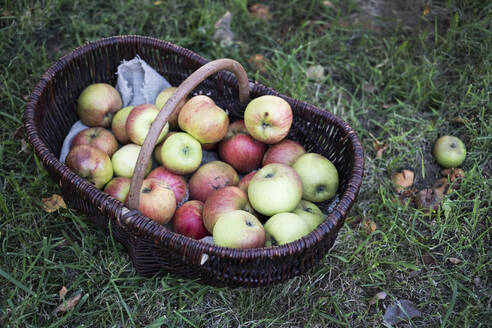 High angle close up of freshly picked apples in a brown wicker basket. - MINF11321
