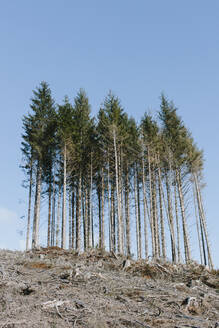 Open landscape, a hillside of logged spruce, hemlock and fir trees - MINF11408