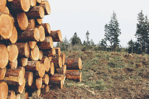 Stacked logs, freshly logged spruce, hemlock and fir trees - MINF11426