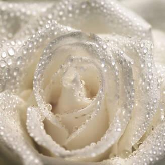 Rose mit Wassertropfen,Germany - JTF01241
