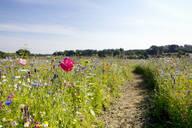 Path through sunny wildflower field - JUIF01305
