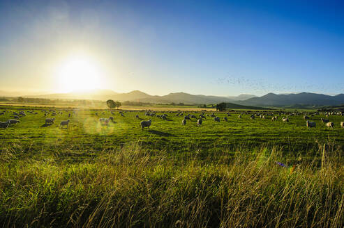 Sheep grazing at sunset, Queenstown, South Island, New Zealand - RUNF02659