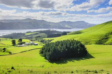 Lush green fields with grazing sheep, Otago peninsula, South Island, New Zealand - RUNF02662