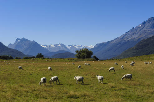 Sheeps grazing on a green field, Rees valley near Queenstown, South Island, New Zealand - RUNF02680