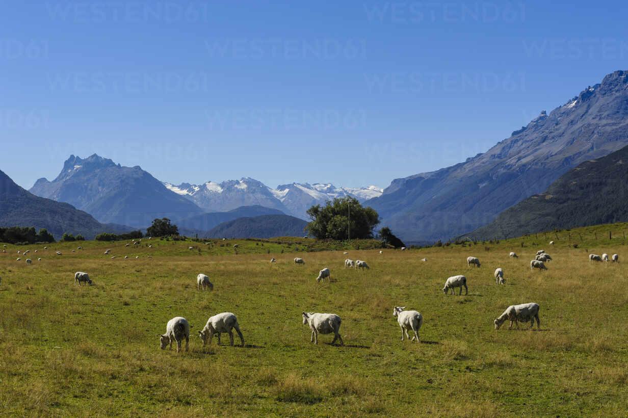 Sheeps grazing on a green field, Rees valley near Queenstown, South Island, New Zealand - RUNF02680 - Michael Runkel/Westend61