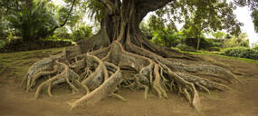 Elevated tree roots in park - MINF12554