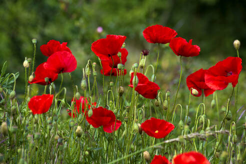 Red Poppies on a meadow - NDF00933