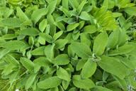 Sage in garden - NDF00942