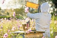 Beekeeper checking honey on beehive frame in field full of flowers - JUIF01544