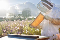 Beekeeper checking honey on beehive frame in field full of flowers - JUIF01550