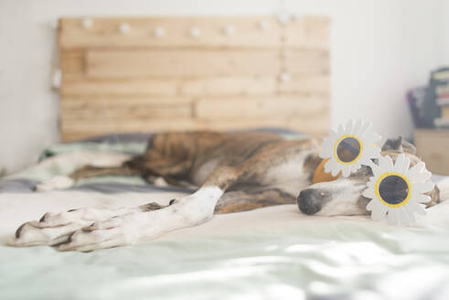 Greyhound lying on bed wearing novelty glasses - SKCF00581