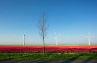Red bulb fields in spring, wind turbines on a dyke in background, Nagele, Flevoland, Netherlands - CUF51583