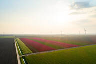 Fields with bulb flowers in the Flevopolder polder, motorway and wind turbines in the background, aerial view, Lelystad, Flevoland, Netherlands - CUF51613