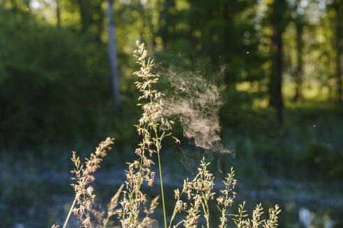 Pollenflug, Aufrechte Trespe (Bromus erectus), Niederbayern, Bayern, Deutschland - SIEF08723