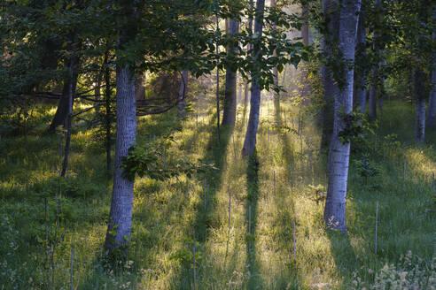Auwald mit Neuanpflanzungen im Morgenlicht, Naturschutzgebiet Isarm�ndung, bei Plattling, Niederbayern, Bayern, Deutschland - SIEF08726