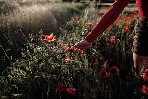 Little girl plucking poppies in the field - OGF00006