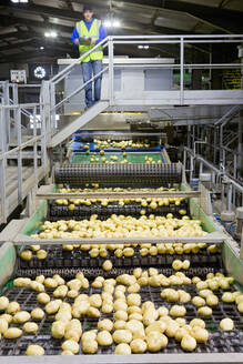 Worker with clipboard on platform examining potatoes on conveyor belt in factory - JUIF01953