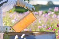 Beekeeper removing frame from beehive in field full of flowers - JUIF02011