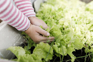 Close-up of girl's hands touching lettuce in a raised bed - KMKF01001