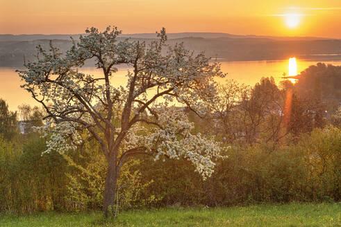 Deutschland, Baden-Württemberg, Bodensee, Wallhausen, Morgenstimmung Streuobstwiese und See - SHF02200