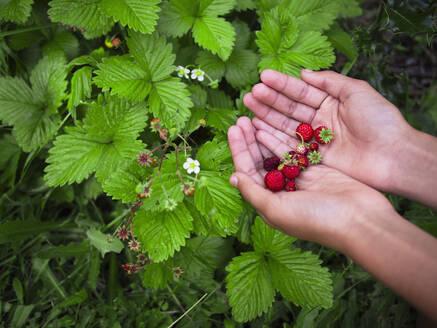 Mixed race girl gathering strawberries - BLEF09708