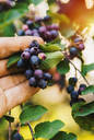Low angle view of hand picking blueberries - BLEF09792