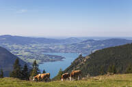Cows grazing on Schafberg against blue sky - GWF06178