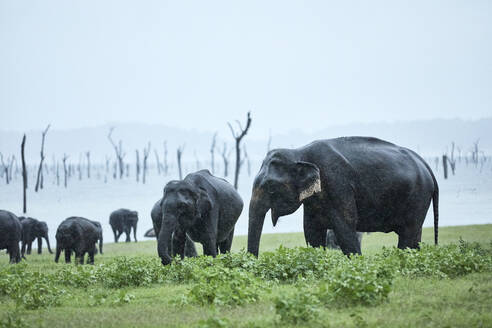 Herd of elephant grazing at Kaudulla National Park against clear sky - CVF01273